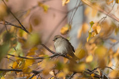 Sparrow in sunny autumn Royalty Free Stock Images