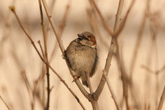 Sparrow in a sunny day Royalty Free Stock Photography