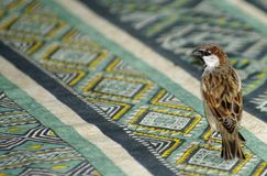 Sparrow on table Stock Photography