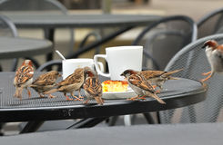 Sparrow on a table Royalty Free Stock Images