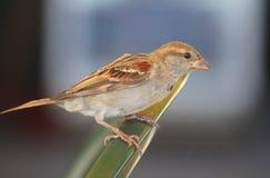 Sparrow on the table. A sparrow on the table Stock Photos