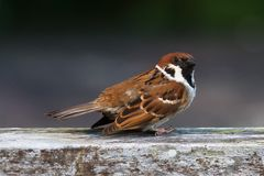 Sparrow take off. A startled Eurasian Tree Sparrow drops its wings right before taking off Royalty Free Stock Photo