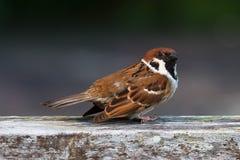 Sparrow take off Royalty Free Stock Photo