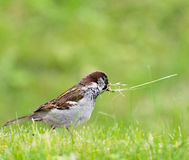 Sparrow with thin reed Stock Photos