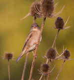 Sparrow on thistle plant Stock Photos