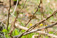 Sparrow in the Thorns Royalty Free Stock Photos