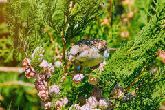 Sparrow on a Thuja Stock Photography