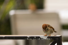 Sparrow tongue. Little sparrow shows own tongue Stock Photos