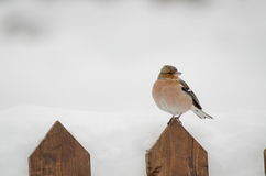 Sparrow top of wooden fence. Royalty Free Stock Photography