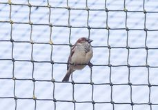 Sparrow trapped in net stock photography