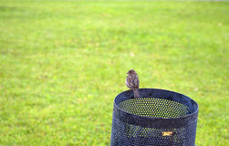 Sparrow on the trash Royalty Free Stock Photo