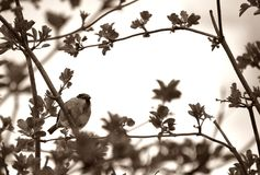 Sparrow on a tree. Little sparrow on a tree Stock Photography
