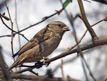 Sparrow on tree. A tree sparrow perched on a tree branch Stock Image