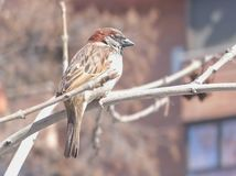 A sparrow on a tree royalty free stock images