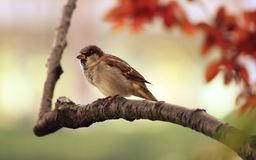 Sparrow, Tree, Branch, Bird Royalty Free Stock Photography