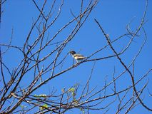Sparrow on tree branch with caterpillar Royalty Free Stock Images