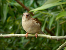 Sparrow on a tree branch, front view Stock Photography