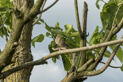 Sparrow on tree branch Royalty Free Stock Photo