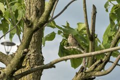 Sparrow on tree branch Stock Photography