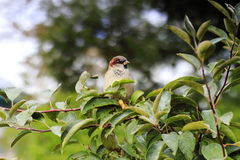 Sparrow on a tree branch. Nature, forest, Sparrow on a tree branch Stock Photo