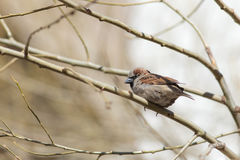 Sparrow on a tree branch Royalty Free Stock Image