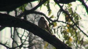Sparrow on tree branch. Sparrow sitting on thick branch of acacia stock footage