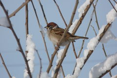 Sparrow. On a tree branch in the snow Royalty Free Stock Photography