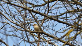 Sparrow on a tree branch. With blue sky on the background Stock Photo