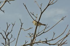 Sparrow on a tree branch Royalty Free Stock Photos