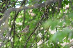 Sparrow on a tree branch Stock Image