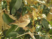 Sparrow in the tree. Female sparrow in the tree with green leaves stock images
