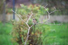 Sparrow In A Tree Royalty Free Stock Photography