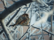 Sparrow on the tree Stock Image