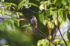 Sparrow on tree Stock Image