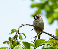 Sparrow in a tree Royalty Free Stock Photos