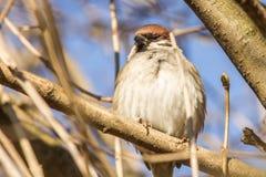Sparrow on tree Stock Photos