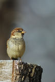 Sparrow on tree stomp. Male sparrow looking to the side on a tree stomp with gray background Royalty Free Stock Photos