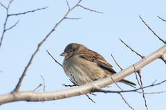 Sparrow on the tree Royalty Free Stock Images