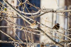 A sparrow on a tree in winter. Gray sparrows on a tree in winter stock images