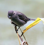Sparrow on a twig Stock Photography