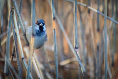 Sparrow on the twig Royalty Free Stock Photos