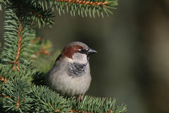 Sparrow on a twig Royalty Free Stock Image