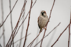 Sparrow on a twig in the wintertime. Single sparrow on a twig in the wintertime Royalty Free Stock Images