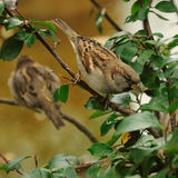Sparrow. Two sparrow on a branch with green leaves Stock Photography