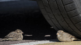 Sparrow  Tyre Royalty Free Stock Images