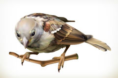 Sparrow vector illustration Stock Image
