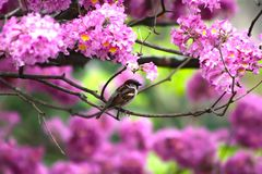 Sparrow among violet flowers royalty free stock photo