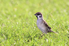 Sparrow Stock Image