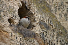 Sparrow in the wall Stock Photos
