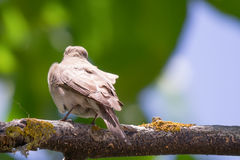 Sparrow on a walnut branch Stock Image